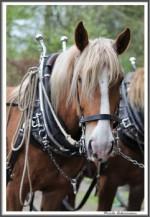 Pfluegen Mit Pferden Bei Peter Hagel  Riepe 290417 IMG 9341