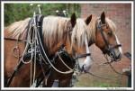 Pfluegen Mit Pferden Bei Peter Hagel  Riepe 290417 IMG 9343