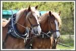 Pfluegen Mit Pferden Bei Peter Hagel  Riepe 290417 IMG 9353