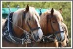 Pfluegen Mit Pferden Bei Peter Hagel  Riepe 290417 IMG 9357