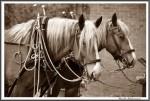 Pfluegen Mit Pferden Bei Peter Hagel  Riepe 290417  Sepia IMG 9343