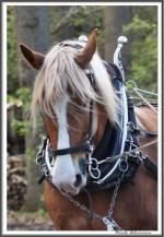 Pfluegen Mit Pferden Bei Peter Hagel  Riepe 290417 X IMG 9351
