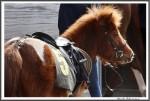 Bremer Galopprennen Mit Shetty 300318 Shetty Hidalgo IMG 0551