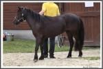 Stuteneintragung Adelheitsdorf 170618 Imke Mueller Pony IMG 2877